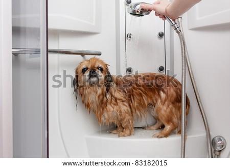 Parody Pekingese taking a shower under running water - stock photo