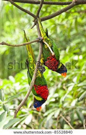 Parrot- a pair of Rainbow Lory holding on a tree branch - stock photo