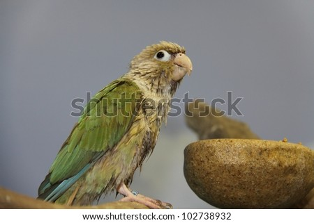 parrot after taking a bath - stock photo