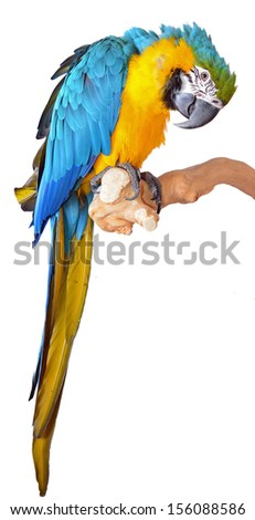 Parrot Blue and Gold Macaw isolated on a white background