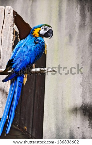 Parrot, Blue-and-yellow Macaw (Ara ararauna) - stock photo