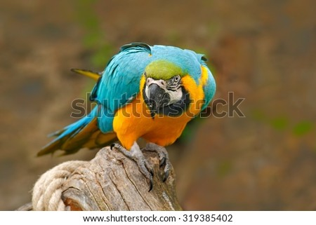 Parrot, blue-and-yellow macaw, Ara ararauna, also known as the blue-and-gold macaw, is a large South American parrot with blue top parts and yellow under parts