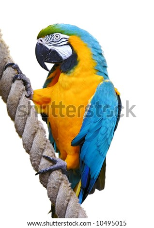 Parrot, Blue-and-yellow Macaw (Ara ararauna), isolated