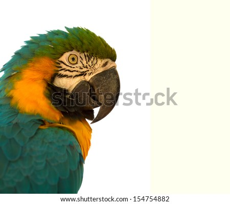 Parrot Close up on White Back ground - stock photo