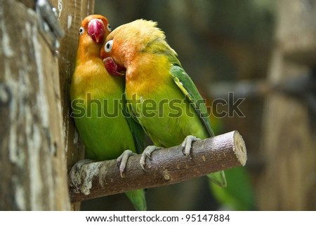 Parrot couple displaying love - stock photo