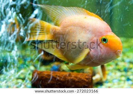 Parrot fish among air bubbles, close-up - stock photo