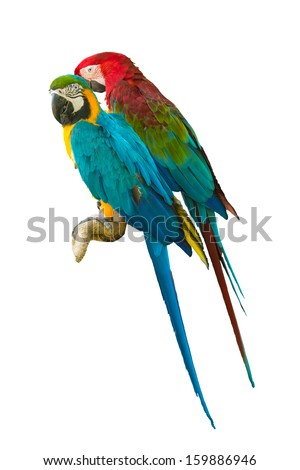 Parrot on a branch. On a white back ground.