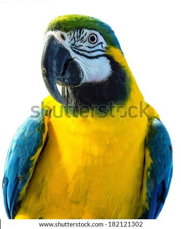 parrot playful isolated on white background - stock photo