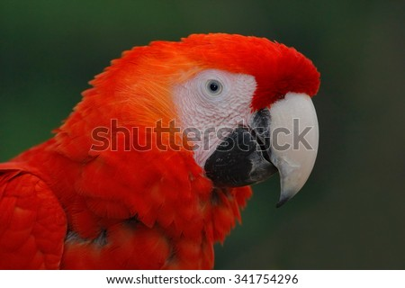 Parrot Scarlet Macaw, Ara macao, head portrait in dark green tropical forest, Costa Rica - stock photo