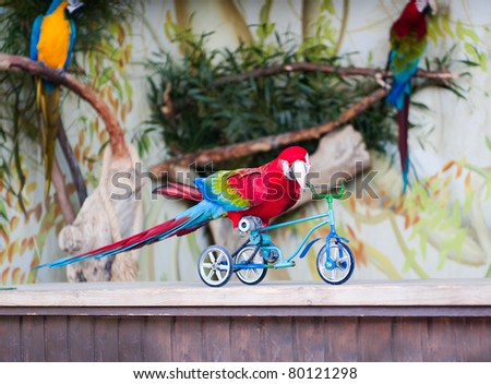 Parrot shows how he can ride a bike - stock photo