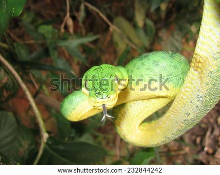 Parrot snake (Corallus caninus) - stock photo