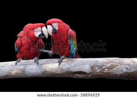 Parrots discussing something, black background - stock photo