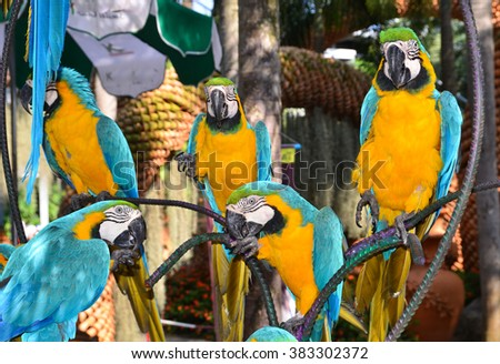 Parrots, parrot macaw on branch, botanical garden Nong Nooch, Thailand, blue and yellow birds - stock photo