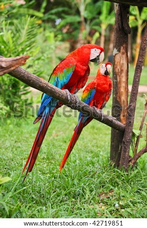 Parrots: scarlet macaw (ara macao) - stock photo