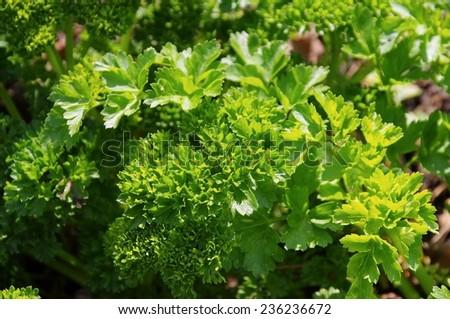 parsley in garden  - stock photo