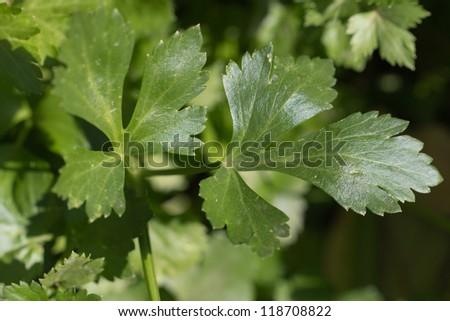 parsley. macro - stock photo