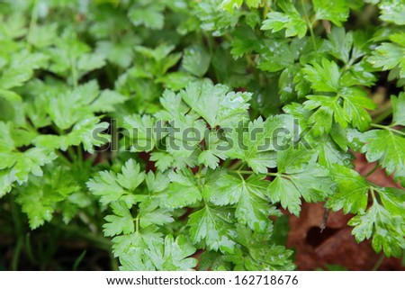 Parsley plant in a herb garden - stock photo