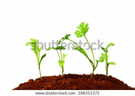 Parsley planting