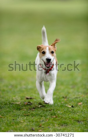 Parson Jack Russell running towards camera, tail in the air - stock photo