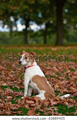 Parson Jack Russell Terrier sitting in a park among fallen Autumn leaves - stock photo
