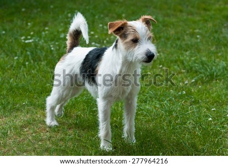 russell terrier stock images royalty free images vectors shutterstock. Black Bedroom Furniture Sets. Home Design Ideas