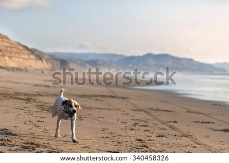 Parson Russell Terrier Dog  Running With Speed On The Galapagos Beach  - stock photo