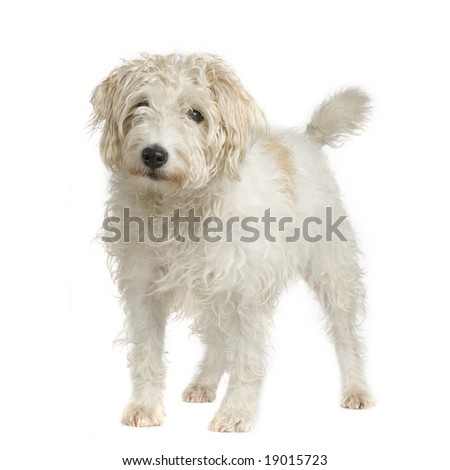 Parson Russell Terrier in front of a white background