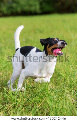 Parson Russell Terrier jumps for a ball