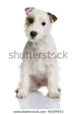 Parson Russell terrier puppy, 5 months old, sitting in front of white background - stock photo