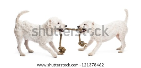 Parson Russell terriers playing with a rope against white background - stock photo