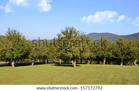 Part of an apple orchard with mountains in the distance. - stock photo