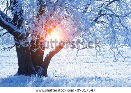 Part of an oak with frozen branches - stock photo