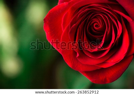 Part of rose on green. Macro shot - stock photo