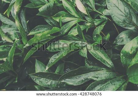 Parthenocissus quinquefolia plant cluse up - stock photo