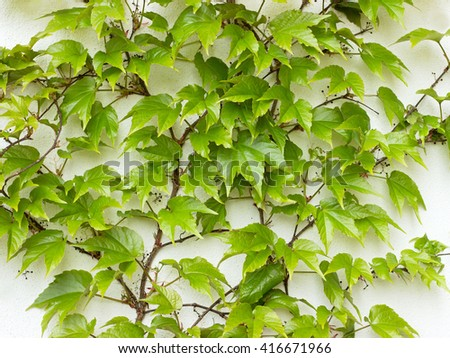 Parthenocissus tricuspidata on the wall - stock photo
