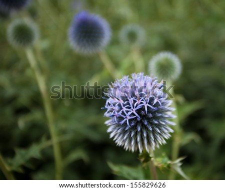 Partially-bloomed globe thistle - stock photo