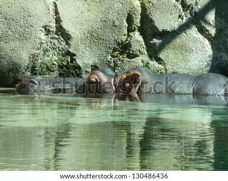 Partially Submerged Hippo - stock photo
