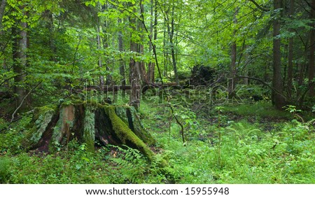 Partly decined stump in foreground at summer forest with lying broken tree in background - stock photo