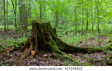 Partly declined stump in front of deciduous trees inside deciduous springtime forest,Bialowieza forest,Poland,Europe - stock photo