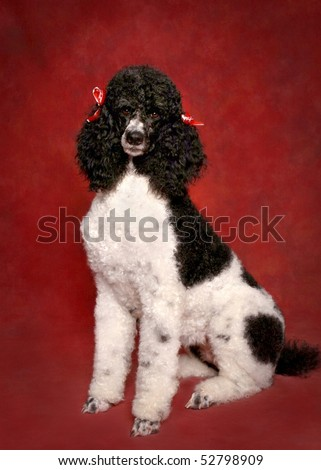 Party colored standard Poodle on red background - stock photo
