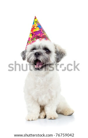 party puppy bichon havanese sitting on a white background - stock photo