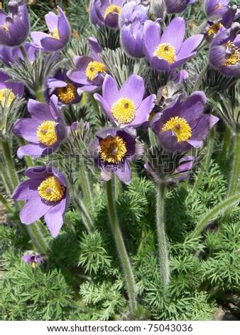 Pasque-flower - stock photo