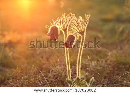 Pasque Flower blooming on spring meadow at the sunset - stock photo