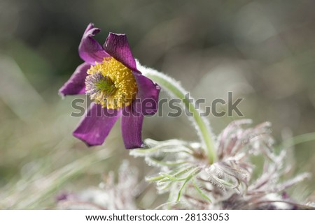 Pasque-flowers (Pulsatilla) in the grass