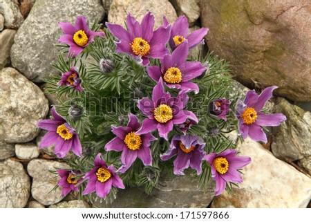 pasqueflower - stock photo
