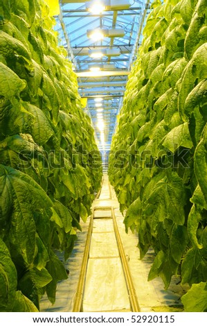 Passage through the thicket of cucumber in the greenhouse at dusk - stock photo