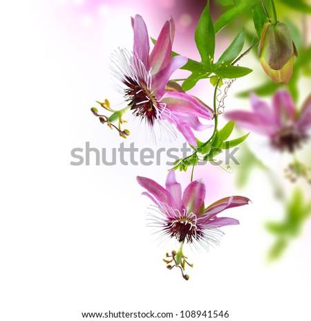 Passiflora Flower - stock photo