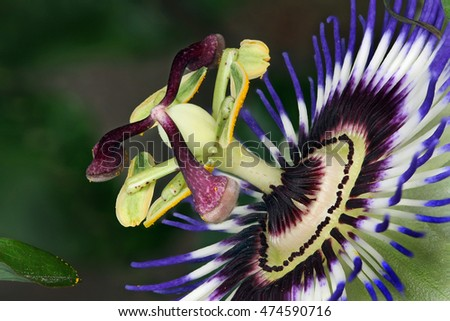 Passiflora, known also as the passion flowers or passion vines, is a genus of about 500 species of flowering plants, the type genus of the family Passifloraceae.