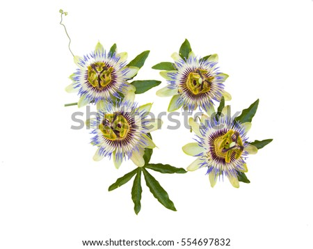 Passiflora (passion flower) insolated in a white background