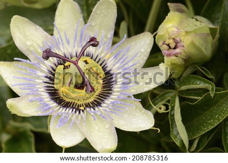 Passion flower closeup with water drops and green leaves - stock photo